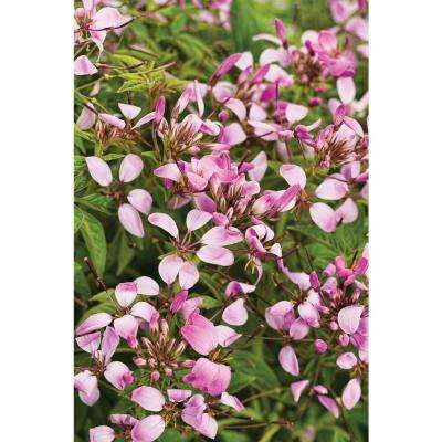 Pequena Rosalita Spider Flower (Cleome) Live Plant, Pink Flowers, 4.25 in. Grande