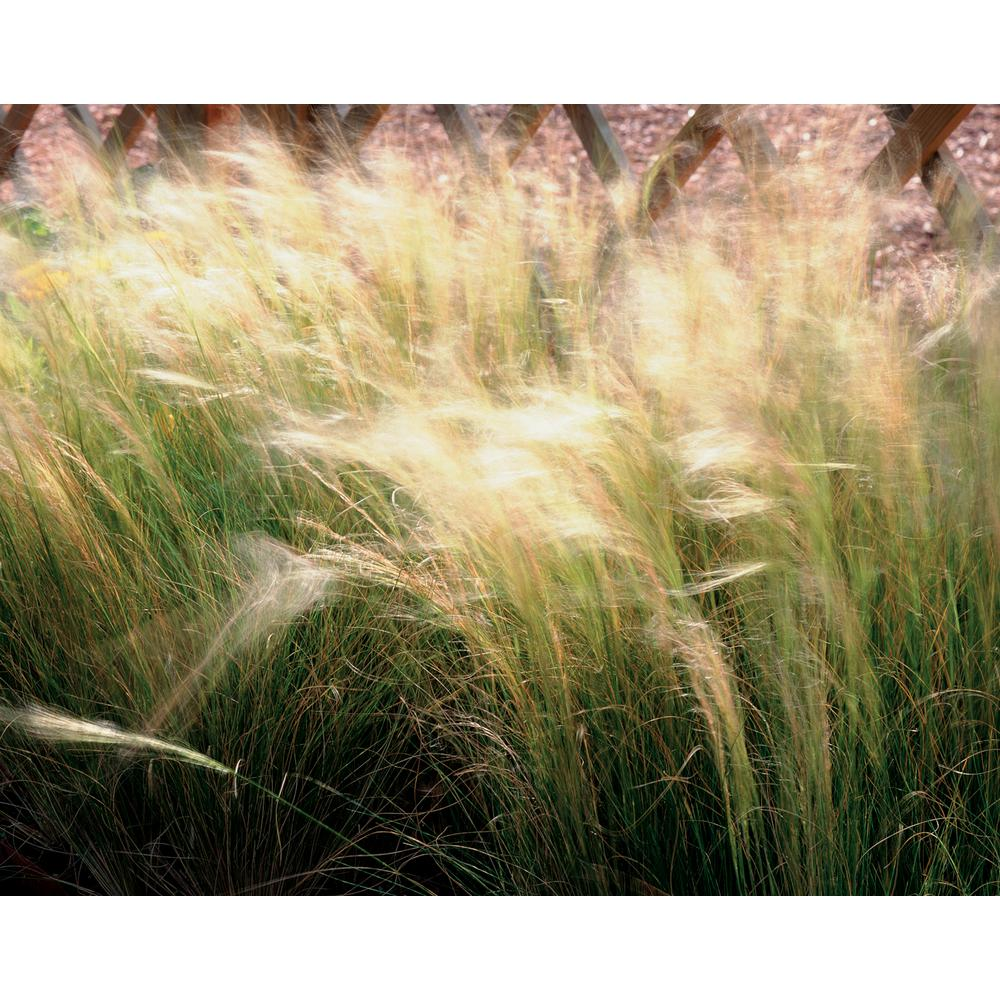 Proven Winners Pony Tails Mexican Feather Grass (Nassella) Live Plant, Tan Flowers and Green Foliage, 4.5 in. Qt.