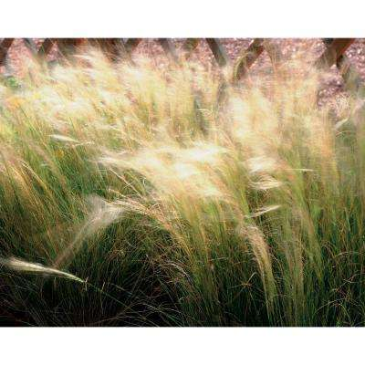Pony Tails Mexican Feather Grass (Nassella) Live Plant, Tan Flowers and Green Foliage, 4.5in. Qt.