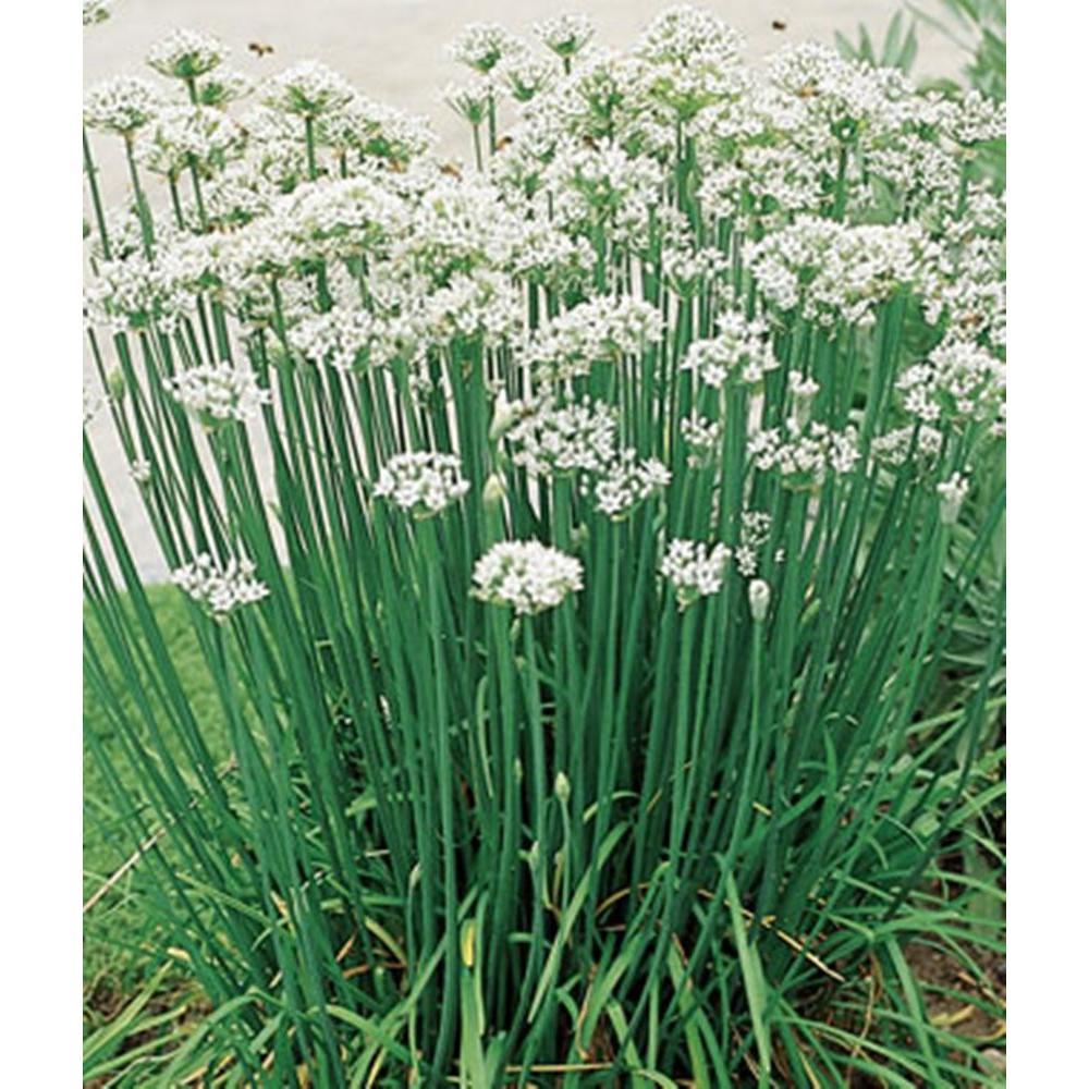Garlic Chives, Live Plant, Herb, 4.25 in. Grande