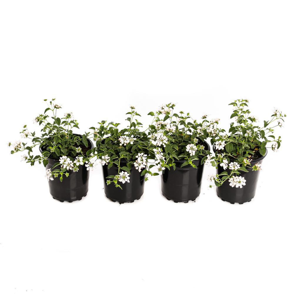 2 5 Qt 1 White Trailing Lantana Plant 4 Pack Lantraww0 Gph4 The Home Depot
