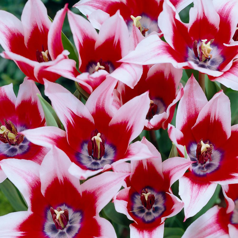 Tulip 18 flower bulbs garden plants flowers the home depot tulips bulbs akita set of 12 izmirmasajfo
