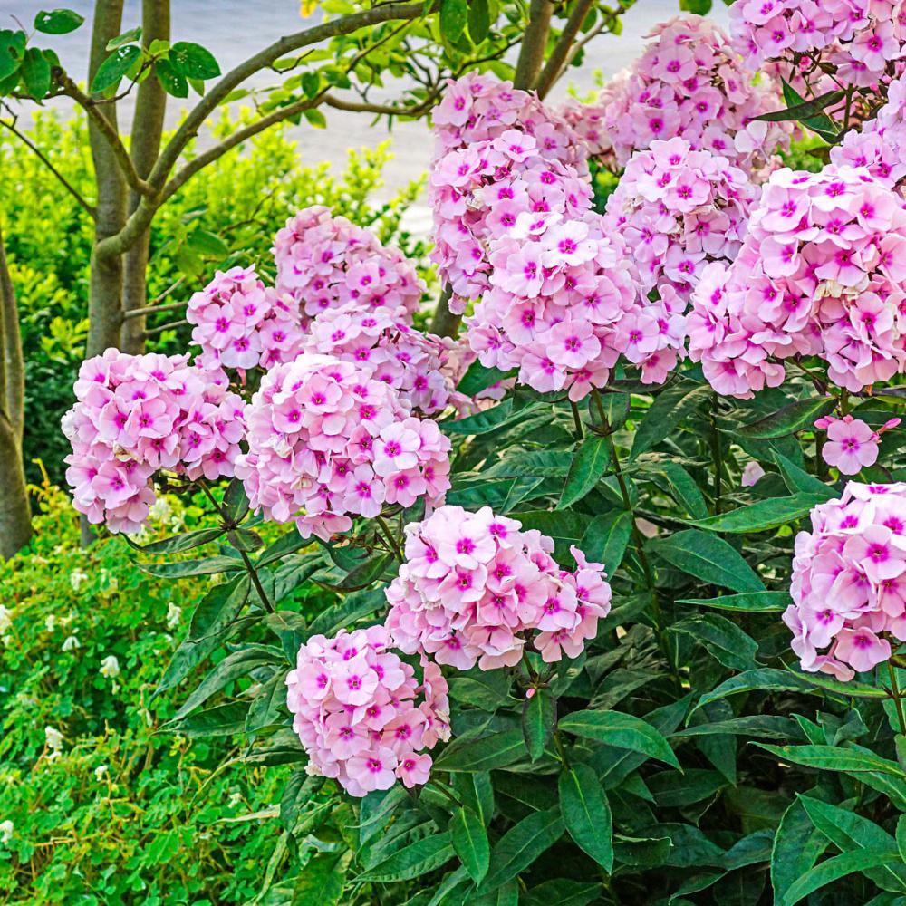 Spring Hill Nurseries Bright Eyes Tall Garden Phlox Live Bareroot
