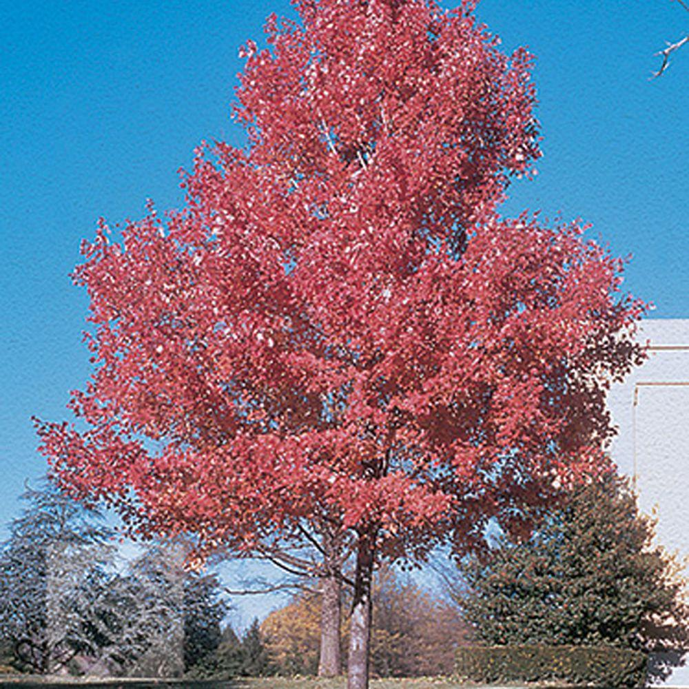 null Summer Red Maple