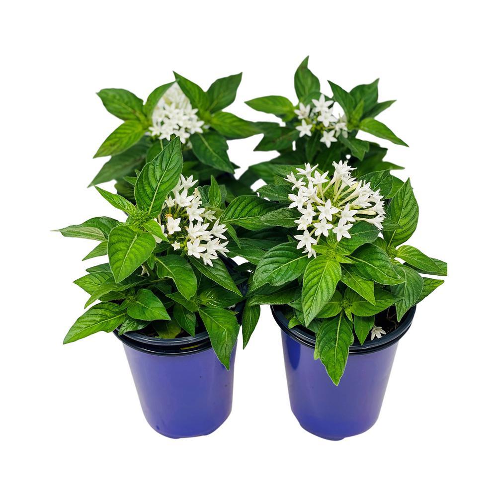 1.38 Pt. Penta Plant White Flowers in 4.5 In. Grower's Pot (4-Plants)