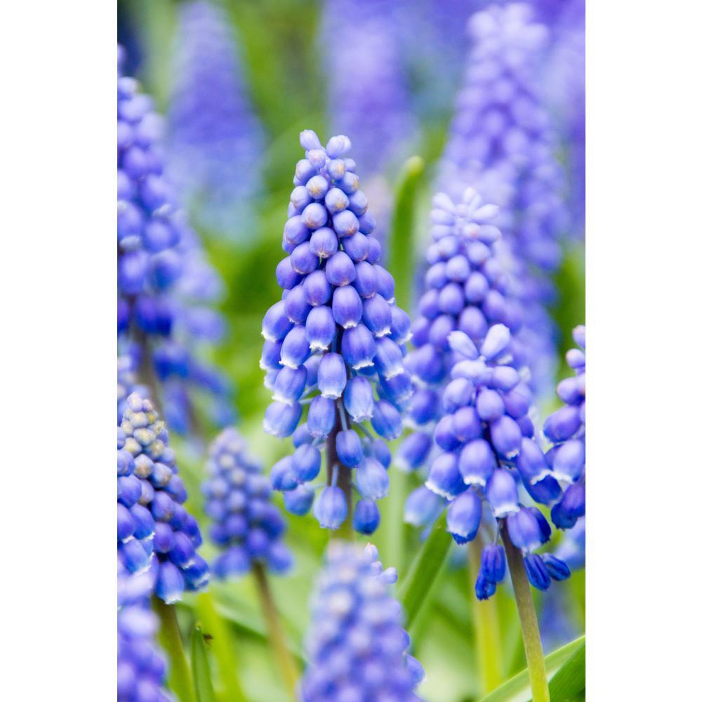Blue Grape Hyacinths Super Sak (60-Pack)