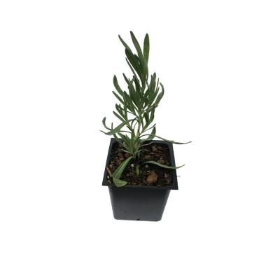 Lavender Grosso 1-Plant in a 4 in. Pot