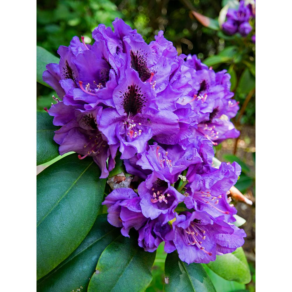 Online Orchards 1 Gal Florence Parks Rhododendron Shrub Unique