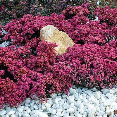 Perennial flowering ground cover the home depot 25 qt dazzleberry sedum live perennial plant red flowers on bluesilver mightylinksfo