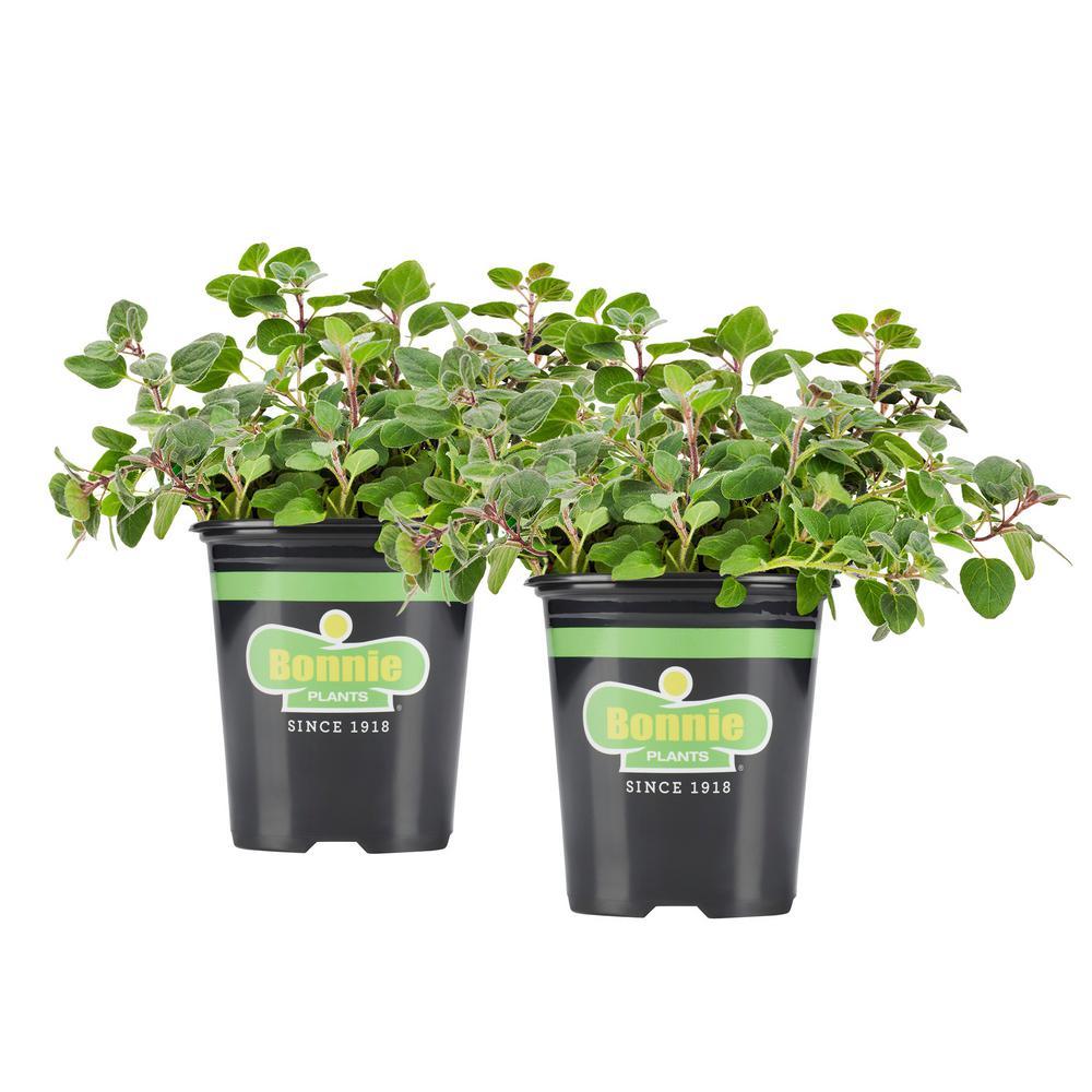 19.3 oz. Greek Oregano (2-Pack Live Plants)