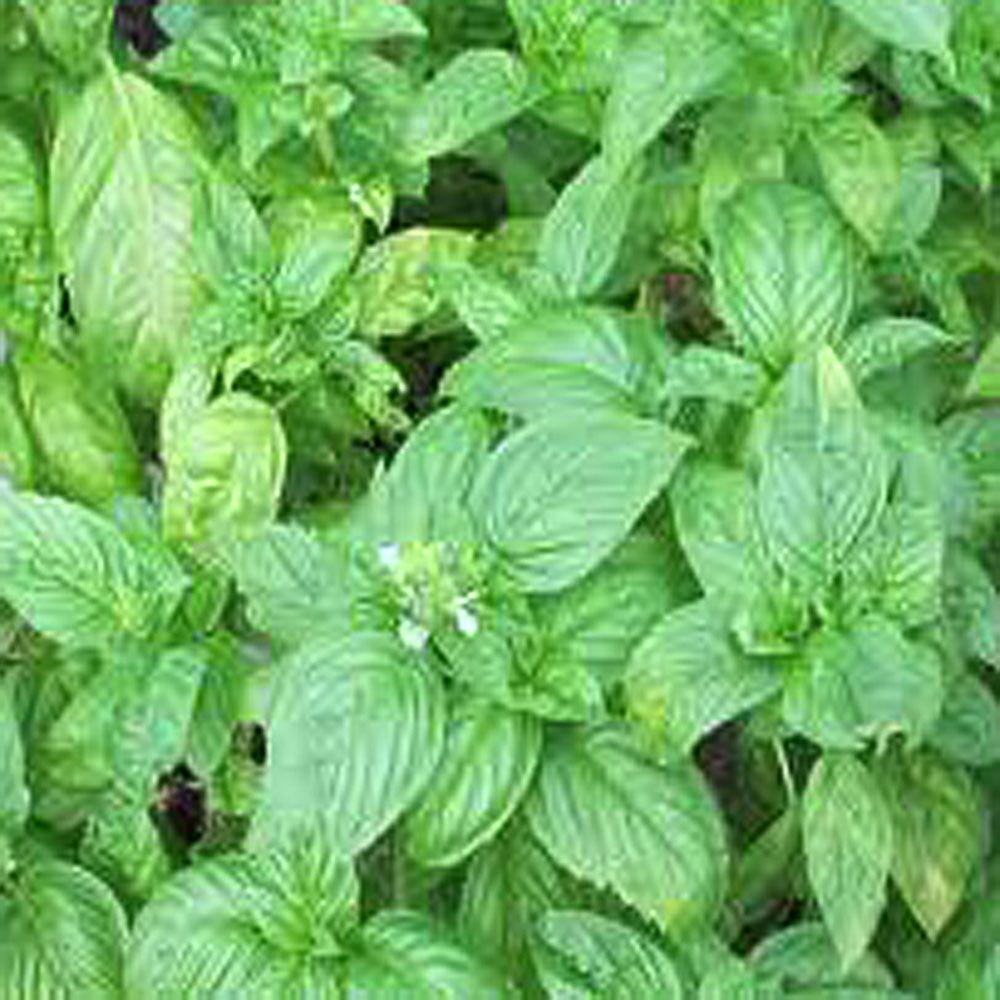 OnlinePlantCenter 3.5 in. Sweet Basil Culinary Herb Plant