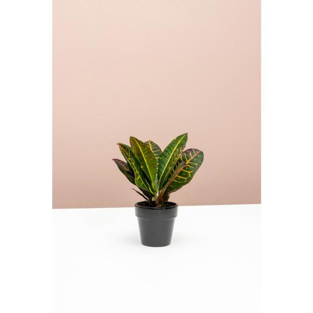 Croton Petra (Codiaeum Variegatum Petra) Plant in 4 in. Grower Pot