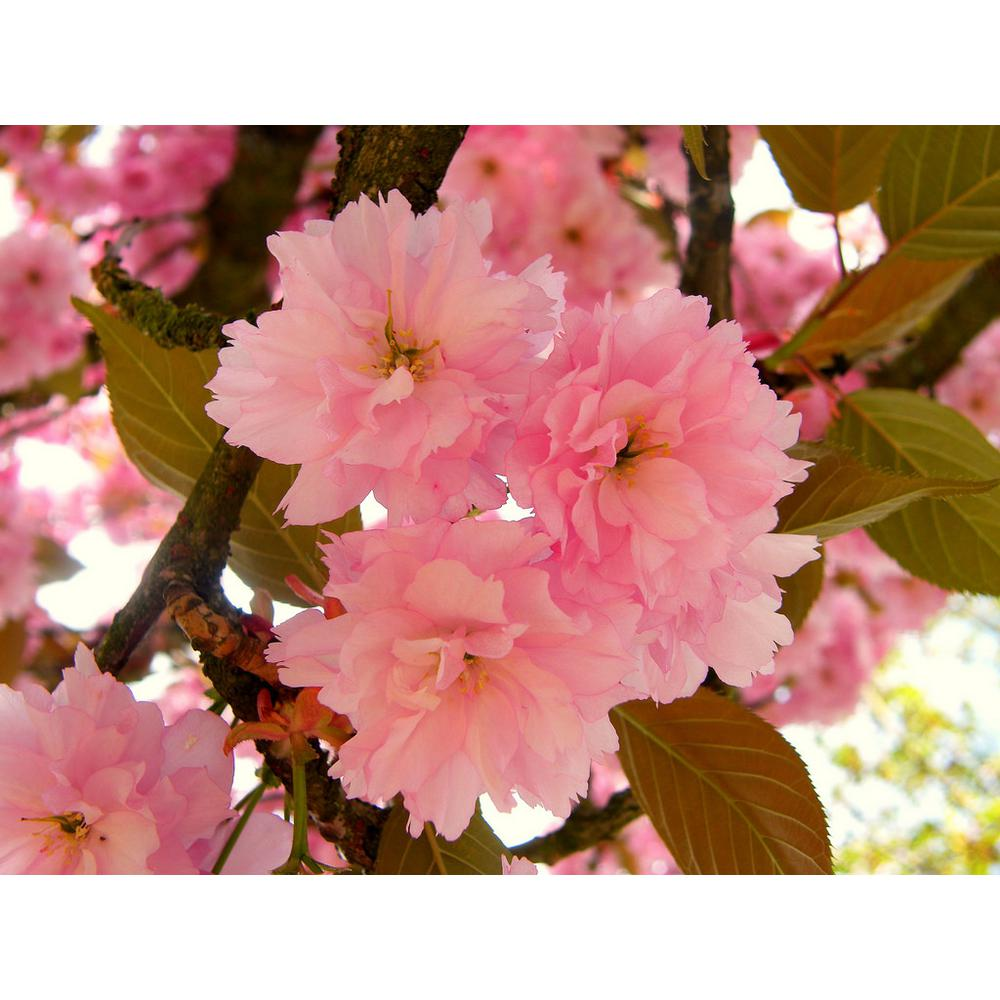 Online Orchards Kwanzan Cherry Blossom Tree Bare Root Flch001