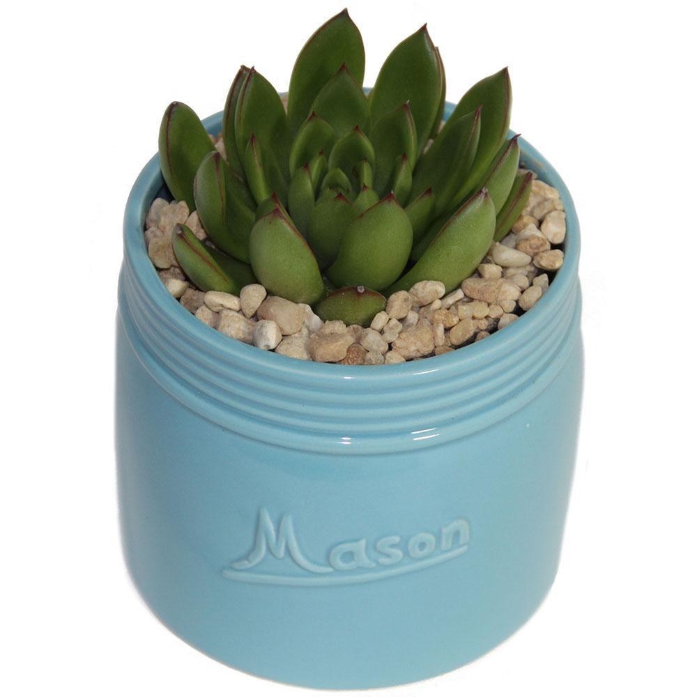Echeveria Succulent in 4.5 in. Mason Jar Sea Blue
