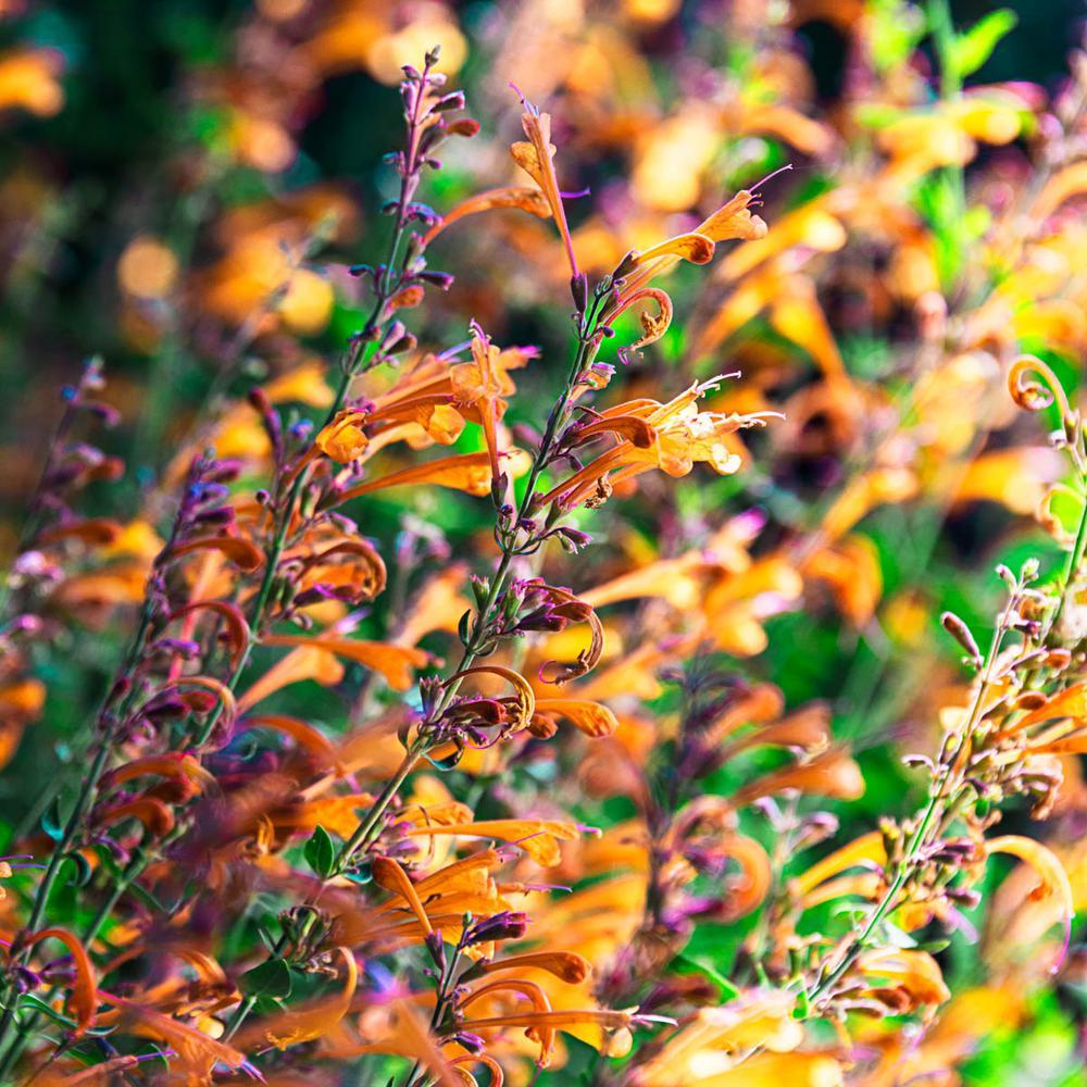 2 in. Pot Tango Hummingbird Mint (Agastache) Orange and Purple Flowers Live Perennial Plant (1-Pack)