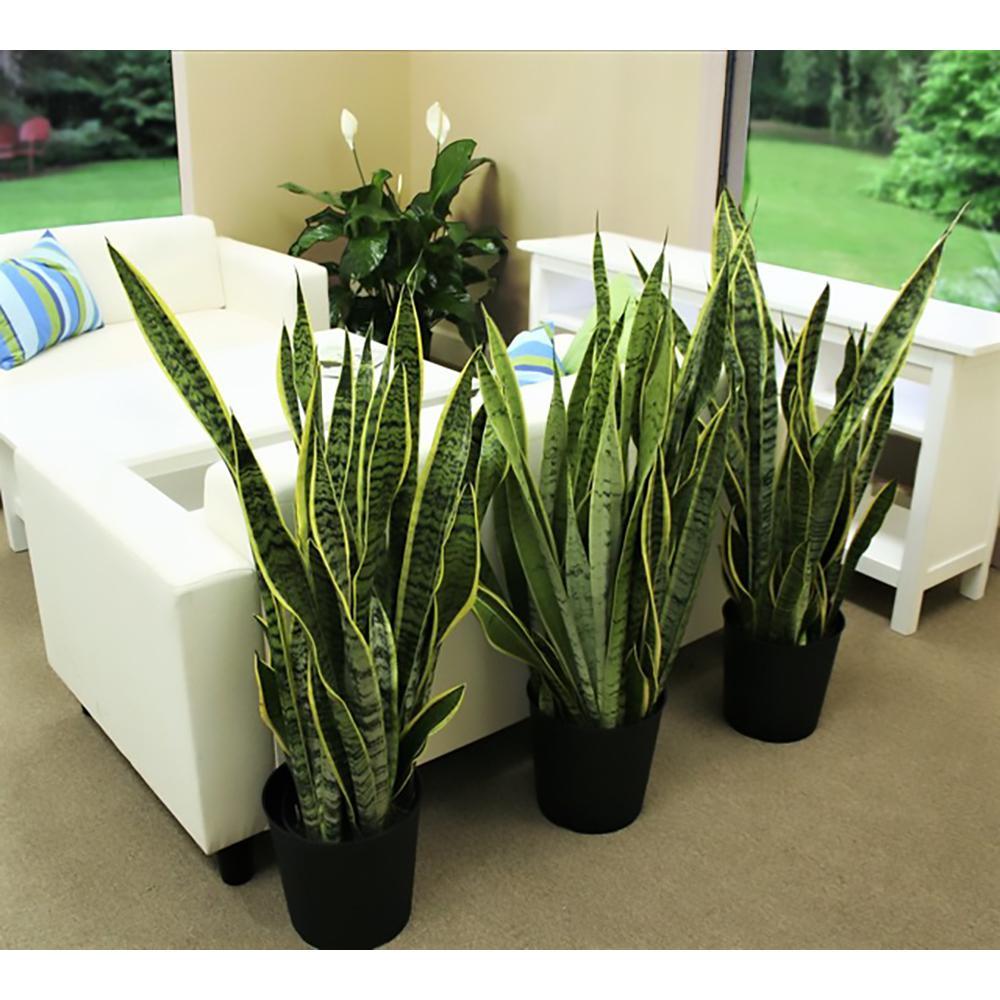 "Dwarf Sansevieria Cylindrica in 2.5/"" Pot Snake Plant === FL Grower"