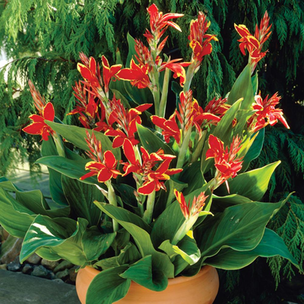 Cannas Lucifer Bulbs (Set of 6)