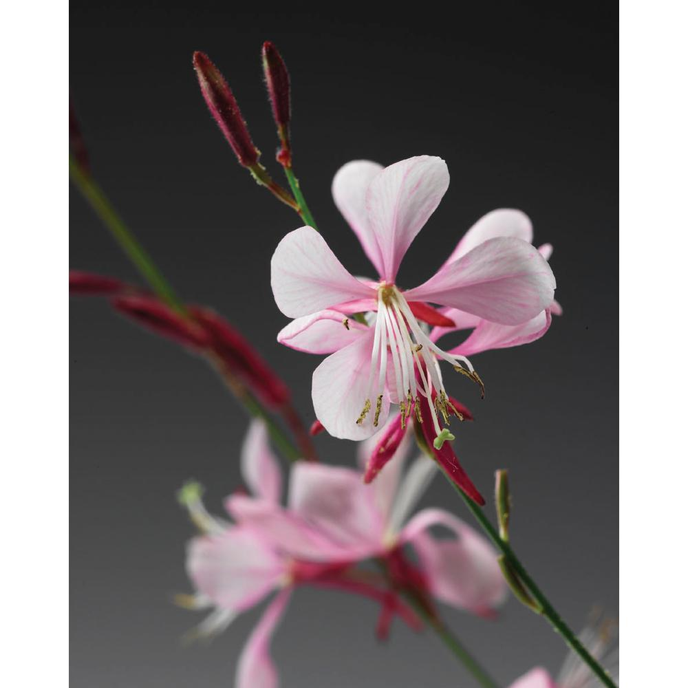 Proven Winners Stratosphere Pink Picotee Butterfly Flower Gaura