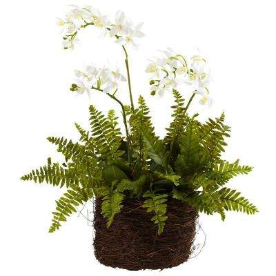 Mini Phalaenopsis and Fern with Birds-Nest Planter