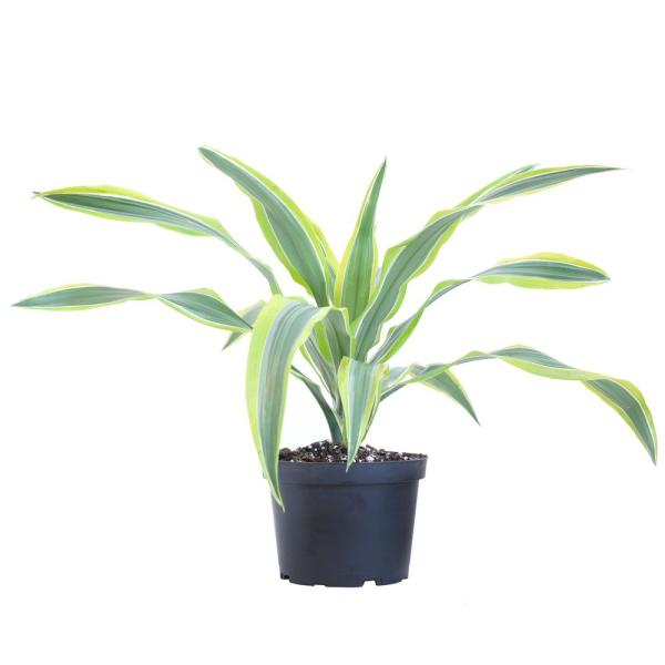 Dracaena Lemon Lime Compacta Live Plant Indoor Houseplant in 6 in. Grower Pot 10 in. - 14 in. Tall