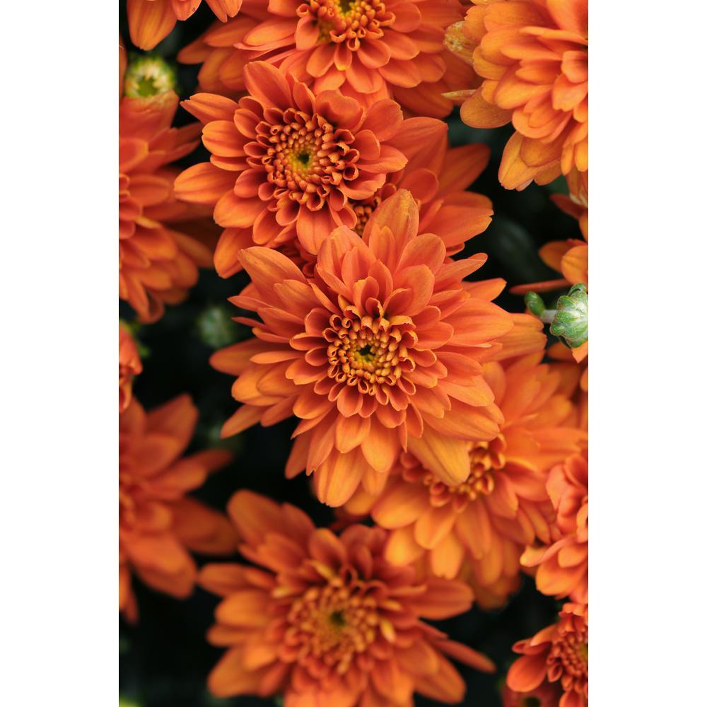 Encore Azalea 13 In Chrysanthemum Mum Plant In A Decorative Pot With Orange Flowers 6321 The Home Depot