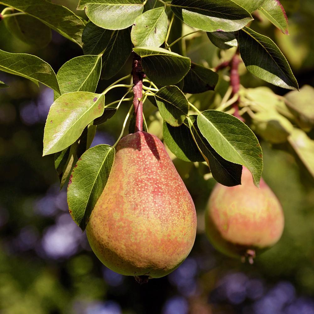Pineapple Pear Tree