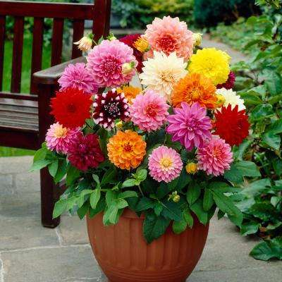 Dahlia Decorative Mixed Bulbs (10-Count/Pack)