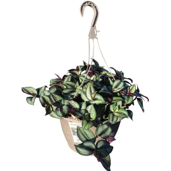 1.8 Gal. Tradescantia Zebrina Purple in 11 In. Hanging Basket