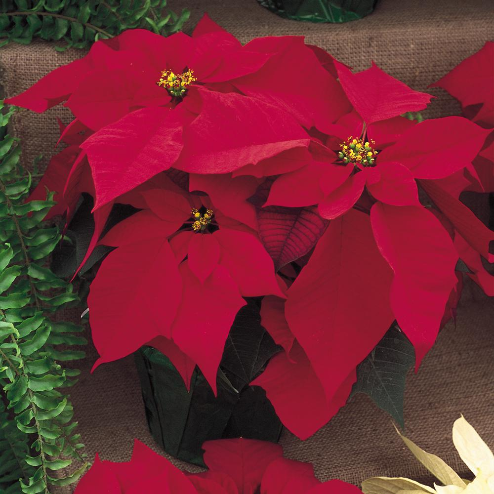 Unbranded 6 5 In Poinsettia Plant With Red Flowers 33962 The Home Depot