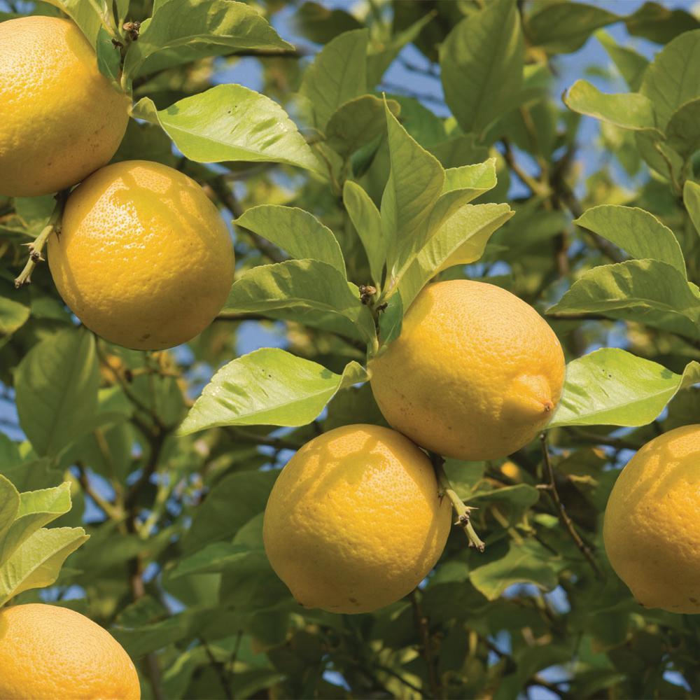 Bloomsz Meyer Lemon Tree - 1.5 Year Old