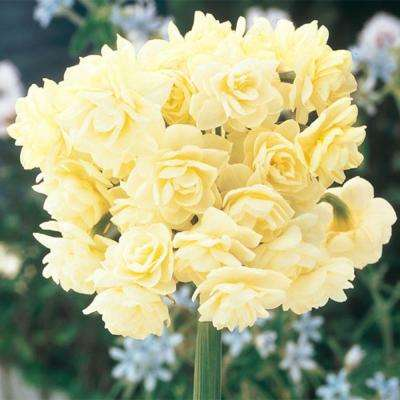 Summer Daffodil Bulbs (5-Pack)