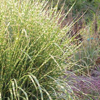 2 Gal. Gold Breeze(Miscanthus), Live Plant, Green and Golden-Yellow Variegated Foliage