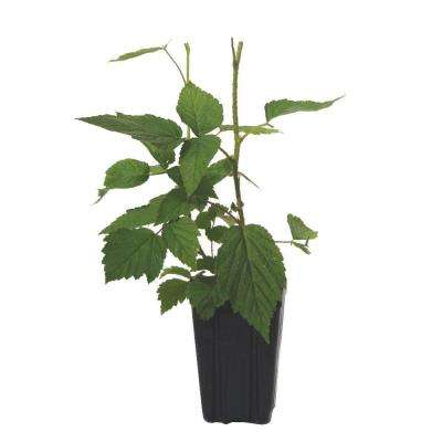 Autumn Bliss Red Raspberry Fruit Bearing Potted Shrub