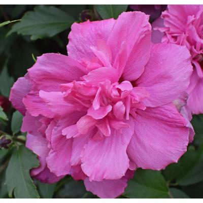1 Gal. Lucy Rose of Sharon Hibiscus Shrub Unique Ruffled Pink Flowers, Among the Toughest Flowering Shrubs