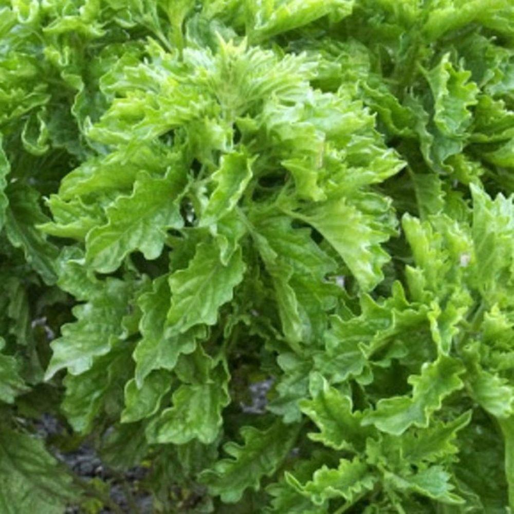 Serata Basil, Live Plant, Herb,4.25 in. Grande