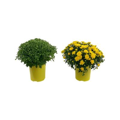 2.5 Qt. Mum Chrysanthemum Plant Yellow Flowers in 6.33 In. Grower's Pot (2-Plants)