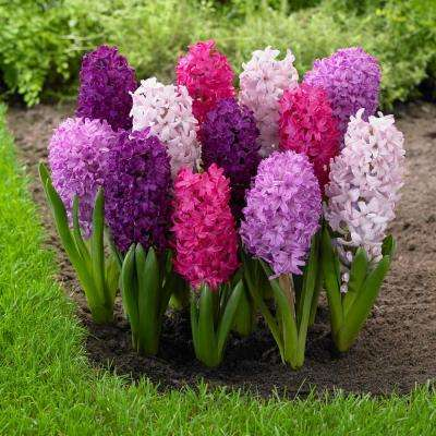 Hyacinth Fierce Mix Bulbs (15-Pack)