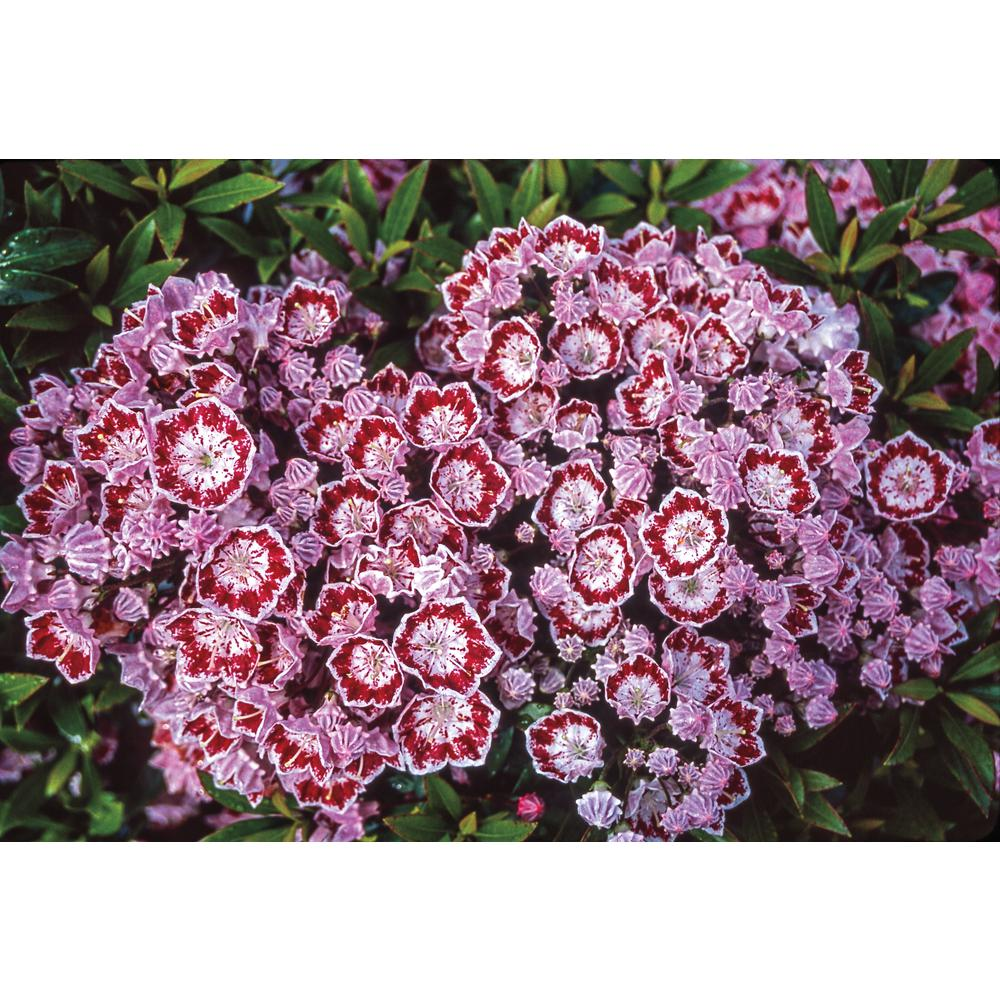 Spring Hill Nurseries 2.5 Qt. Minuet Mountain Laurel (Kalmia), Live ...
