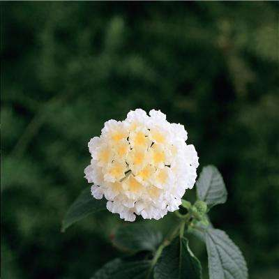 1 Qt. White Lantana Plant in Grower Pot (4-Pack)