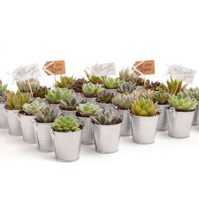 2 in. Wedding Event Rosette Succulents Plant with Silver Metal Pails and Let Love Grow Tags (140-Pack)