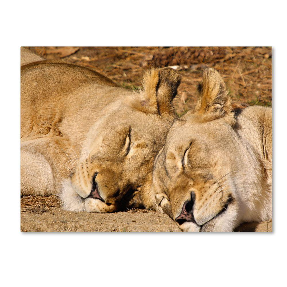 14 in. x 19 in. National Zoo - Lions Canvas Art