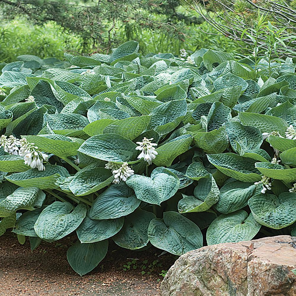 2.5 Qt. Blue Angel Hosta Plant