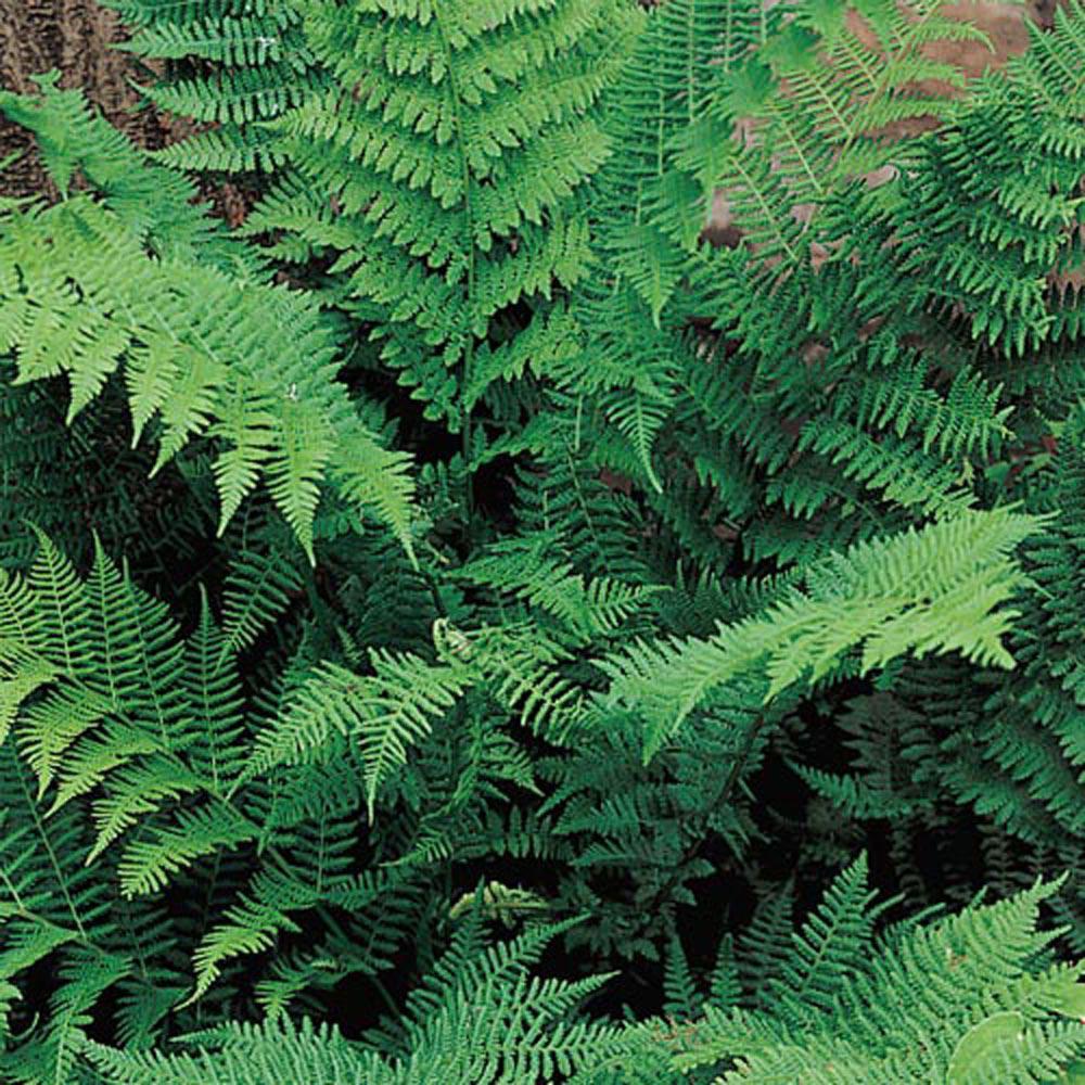 Lady Fern (Athyrium), Live Bareroot Plant, Green Foliage Perennial (1