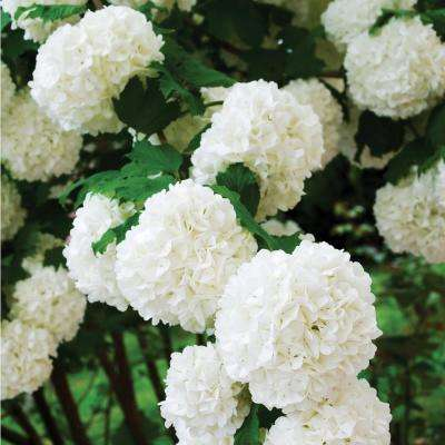 Viburnum - Arrowood - Set of 1 Root Stock