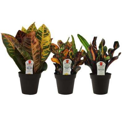 Croton in 3.8 in. Grower Pot, Assortment (3-Pack)