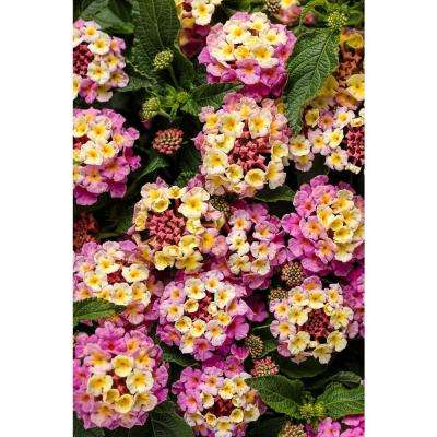 Luscious Pinkberry Blend Lantana Live Plant Pink And Yellow Flowers 4 25 In