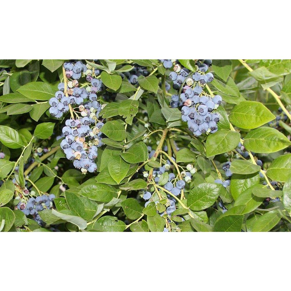 Sweet Berry Selections Jersey Blueberry Fruit Bearing Potted Shrub