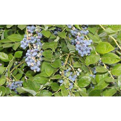 Jersey Blueberry Fruit Bearing Potted Shrub