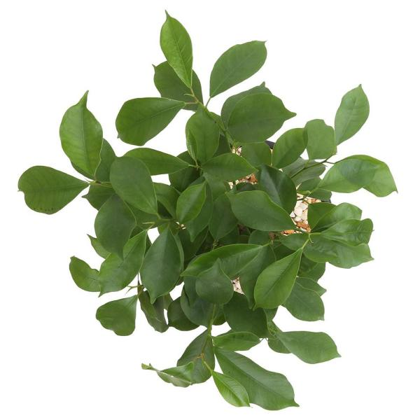 Costa Farms Ficus Bonsai In 6 In Plastic Pot With Saucer 6bonsaibowlficus The Home Depot