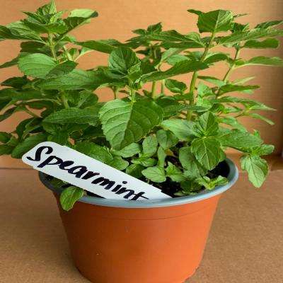 5.5 in. Spearmint Culinary Herb Plant
